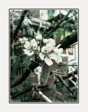 The Pear Tree greeting card by Kathryn Hanson, ShutteredEye.